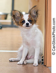 Papillon puppy Portrait of a beautiful little dog