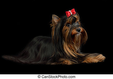 Yorkshire terrier lying isolated on black background