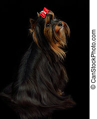 Yorkshire terrier sitting against black background