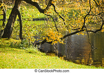 Old birch tree with colorful leaves in fall - Old birch tree...