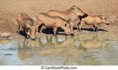 Warthogs at the waterhole - A family of warthogs...