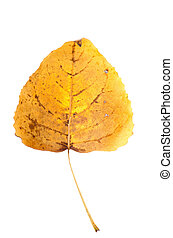 Fall leaf isolated on white background.