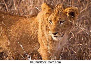 赤ん坊, 歩くこと, 草, ライオン