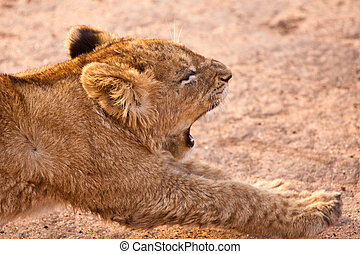 Baby lion stretching - Baby lion yawning and stretching his...
