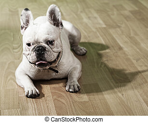 french bulldog - young french bulldog resting and showing...