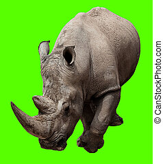 rhinoceros isolated against a removable chroma key...