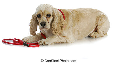 dog on a leash - american cocker spaniel laying down waiting...