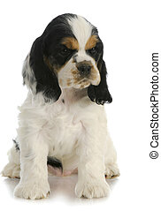 cocker spaniel puppy - cute puppy - american cocker spaniel...