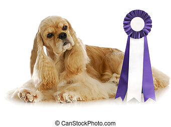 champion dog - dog competition - american cocker spaniel...