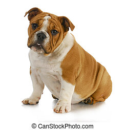 bulldog puppy - english bulldog puppy sitting with...
