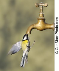 Bird and tap. - Great tit iflight drinking from a tap.