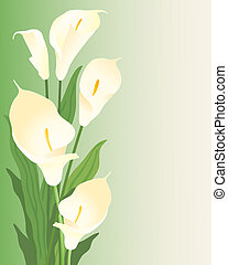 calla lillies - an illustration of beautiful creamy white...