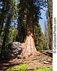 tall and big sequoias in beautiful sequoia national park