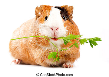 Lunch time Funny guinea pig portrait over white background