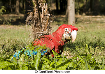 Red-and-green macaw - Young red-and-green macaw (Ara...