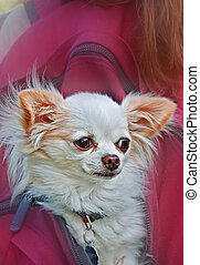 Long Haired White Chihuahua Dog In Backpack