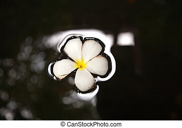 Plumeria blossom (Frangipani) is swimming in the water