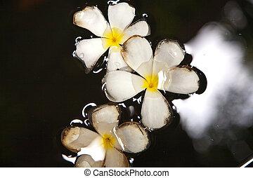 Plumeria blossom (Frangipani) is swimming in the water