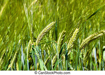 ear wheat - Photo of several ears of unripe green wheat...