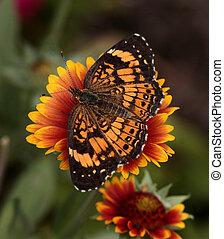Pearl Crescent butterfly - Pearl Crescent in a Missouri...