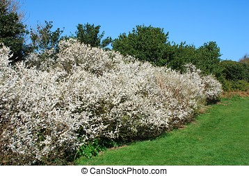 Hawthorne hedge - A Hawthorne hedge flowering in Spring.