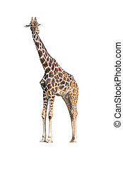 Giraffe (Giraffa camelopardalis) on isolated background