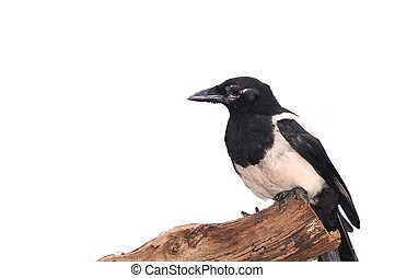 Magpie - Isolated magpie