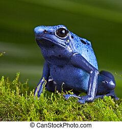 azul, veneno, dardo, Rã