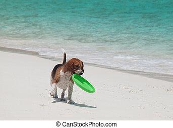 Dog on the beach with frisbee - Cute beagle on a beach with...