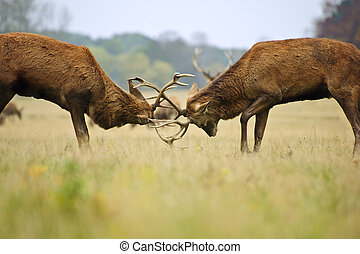 Jousting fighting red deer stags clashing antlers in Autumn...