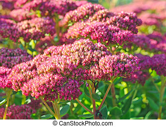 Purple hylotelephium or sedum telephium, shallow depth of...