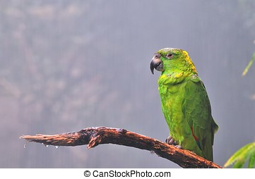 amazona,  auropalliata