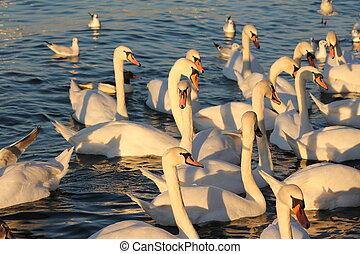 swans and lake