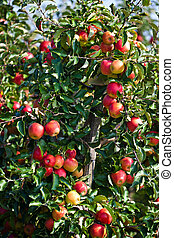 apple tree - an apple tree in an orchard in the fall
