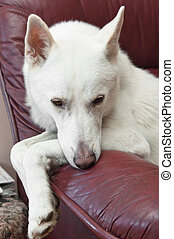 The white dog lays on a sofa