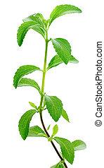 Stevia, planta
