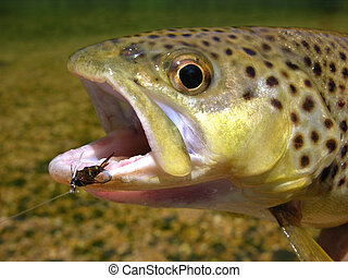 Brown trout catch - A brown trout caught on a prince nymph...