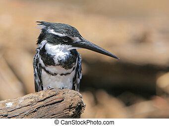 Pied kingfisher in Zambia