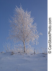 birch - young birch on hill in winter scenery