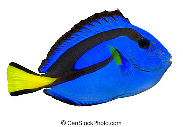 Blue Tang, Regal Tang isolated on white background....