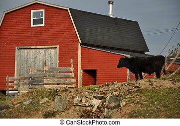 red barn with black cow in yard - red bard with a black cow...