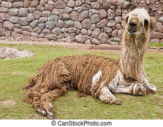 Alpaca - Close up of an alpaca seating
