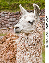 Alpaca - Close up of an alpaca's face