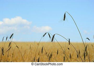 Wheat field - blue sky