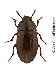 Alphitobius diaperinus - An Alphitobius diaperinus, lesser...