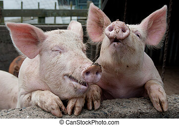 Lauging pigs - Pigs climbing up on side of sty looking like...