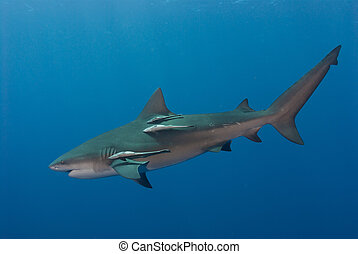 Swift bullshark - The view of a single bull shark swimming...