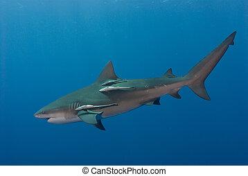 Swift bullshark - The view of a single bull shark swimming...