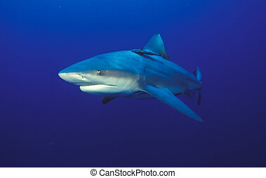 Eyeing shark - The front view of a bullshark, Mozambique