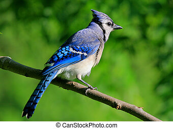 Blue Jay - A Missouri blue jay perched on a limb